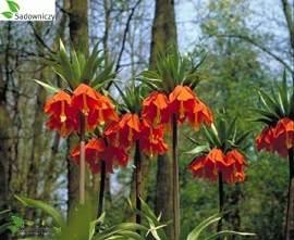 szachownica, cesarska korona Rubra, zdjęcia ogrodów,  wiosna w ogrodzie,  rośliny ozdobne, aranżacje, ogród, urządzanie ogrodu, aranżacje z roślin, galeria ogrodowa