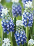 Ogrodnik-amator, opis rośliny, Szafirek, Muscari, Grape hyacinths, uprawa szafirków, szafirek kwiat