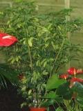 Szaflera, Schefflera,  rośliny pokojowe, rośliny doniczkowe, krzew doniczkowy
