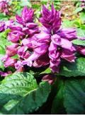 Ogrodnik-amator, opis rośliny, Szałwia błyszcząca, Salvia splendens, Scarlet Sage or Tropical Sage, uprawa  szałwi błyszczącej, opis rośliny, Kwiat jednoroczny uprawiany z rozsady, niezwykłe kwiaty, kwiatostany w kształcie kolorowego kłosa, kwiaty uprawaiane z rozsady, kwiaty szkarłatnoczerwone, kwiaty letnie,  kwiaty na balkony i tarasy