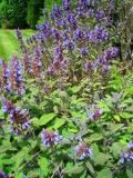 ogród użytkowy , rośliny przyprawowe , rośliny  zielarskie, szałwia lekarska,  uprawa szałwii lekarskiej