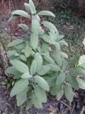 Ogrodnik-amator, opis rośliny, Szałwia lekarska, Salvia officinalis, Common sage, uprawa szałwii lekarskiej, rośliny użytkowe, rośliny zielne, zioła,  byliny