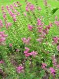 szałwia powabna, zdjęcia roślin ogrodowych