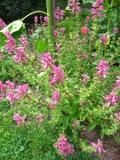 Ogrody, zdjęcia szałwia powabna kwiat, szałwia w ogrodzie