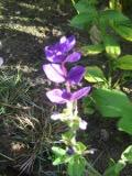 Ogrodnik-amator, opis rośliny, Szałwia powabna, szałwia trójbarwna łac. Salvia horminum, Salvia viridis ang. Annual clary sage, uprawa uprawa celozji szałwi powabnej, opis rośliny, Kwiat jednoroczny uprawiany z rozsady, niezwykłe kwiaty, kwiatostany w kształcie kolorowego kłosa, kwiaty uprawaiane z rozsady