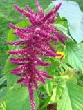 Ogrodnik-amator, opis rośliny, Szarłat zwisły, Amaranthus caudatus, Love-lies-bleeding, uprawa szarłatów, opis rośliny, Kwiat jednoroczny uprawiany z rozsady, kwiat wysiewany wprost do grunkt, niezwykłe kwiaty, kwiatostany w kształcie zwisajacych kłosów, kwiaty uprawaiane z rozsady, kwiaty amarantowym kolorze, kwiaty letnie