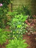rośliny pokojowe, rosliny doniczkowe, szeflera
