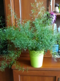 szparag_sprengera, gęstokwiatowy, asparagus