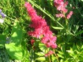 Ogrodnik-amator, opis rośliny, Tawułka, Astilbe,  False Spirea, uprawa tawułki, kwiaty wieloletnie, byliny, tawułka kwiat