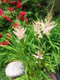 rośliny kwitnące , tawułka