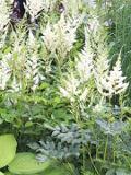 ogród kwiaty ogrodowe , byliny,  kwiaty kwitnące wiosną, byliny,tawułka, tawułki