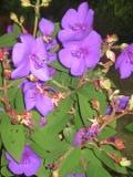 tibuchina, zdjęcia rośliny, galeria roślin, rośliny na literę t