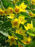 Ogrody, zdjęcia tojeść kropkownana kwiat,  w ogrodzie