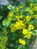 tojeść rozesłana, zdjęcia rośliny, galeria roślin