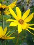 topinambur, słonecznik bulwiasty, zdjęcia rośliny, galeria roślin
