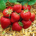 ogród użytkowy, owoce, warzywa zioła, truskawki latem truskawka, odmiany