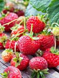 Ogrodnik-amator, opis rośliny, Truskawka, poziomka truskawkowa, Fragaria ×ananassa, Strawberry, uprawa truskawek, rośliny owocowe, rośliny o zielonych owocach, ogród owocowy, , rośliny użytkowe, rośliny owocujące, rośliny jagodowe,  rośliny na lato, owoce z letniego ogrodu, byliny do ogrodu, Ogrodnik - amator
