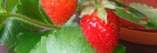 Ogrody, ciekawe odmiany truskawek, truskawki w lipcu