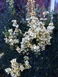 krzewy ogrodowe, ozdobne trzmielina fortunea