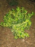 trzmielina japońska, zdjęcia roślin