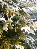 Ogrodnik-amator, opis rośliny, zywotnik zachodni, tuja, Thuja, Western red cedar, uprawa Zywotnika zachodniego, uprawa tui, opis rośliny