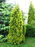 rośliny iglaste , drzewa iglaste żywotnik zachodni, tuja
