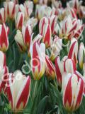 Ogrody, rośliny  cebulowe , tulipan kaufmanna