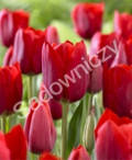 tulipan Triumph, ogród ozdobny , rośliny cebulowe i bulwiaste, rośliny na rabaty, czerwone kwiaty  kwiaty