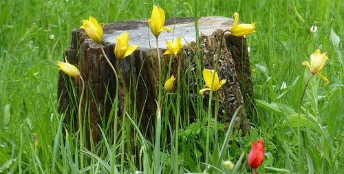 kwiaty cebulowe, tulipany botaniczne, ogrodnik