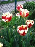 tulipan triumph, tulipany, uprawa tulipanów