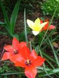 tulipany Klusjusza, ogr�d ozdobny , ro�liny cebulowe i bulwiaste, ro�lin narabaty r�nokolorowe kwiaty