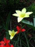 Ogrody, rośliny  cebulowe , tulipan klusjusza