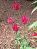 tulipan liliokszta�tny, ogr�d ozdobny , ro�liny cebulowe i bulwiaste, ro�liny na rabaty, kolorowe kwiaty  kwiaty, kwiaty wiosenne