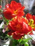 Ogrody, zdjęcia tulipanów, tulipany w ogrodzie, pielęgnacja tulipanów