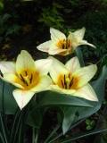 tulipany botaniczne, Ogrody, zdjęcia tulipanów, tulipany w ogrodzie, pielęgnacja tulipanów