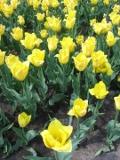 Ogrodnik-amator, opis rośliny, Tulipan Triump, Tulipa Triumph, Triumph Tulip, uprawa tulipanów grupy Triumph, kwiaty wieloletnie, rośliny cebulowe