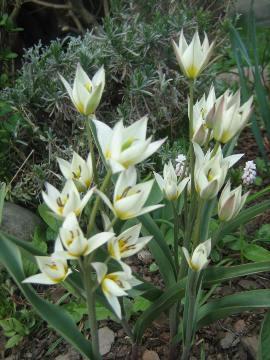 Tulipan Turkiestański Tulipa Turkestanica Ogrodnik Amator Uprawa
