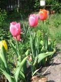 byliny, rabaty bylinowe, kwiaty wieloletnie, rośliny cebulowe i bylwiaste, zakładanie rabaty bylinowej