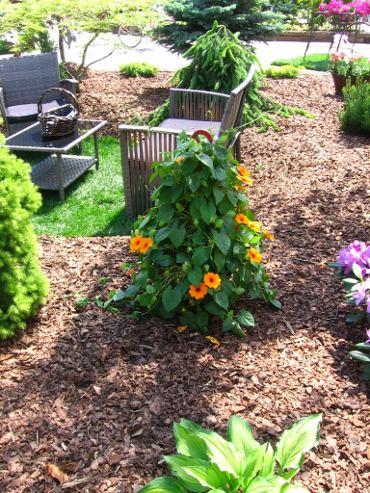 tunbergia, do ogrodu, zdjęcia ogrodów,  dodatki ogrodowe,  rośliny ozdobne, aranżacje, ogród ozdobny, urządzanie ogrodu, aranżacje z roślin, galeria ogrodowa