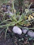 turzyca morrowa, zdjęcia roślin