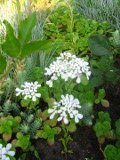 Ogrodnik-amator, opis rośliny, Ubiorek wiecznie zielony, Iberis sempervirens. Ogrodnik-amator. Uprawa ubiorka wilecznie zielonego, opis rośliny