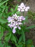 ubiorek baldaszkowy, zdjęcia roślin, galeria roślin, rośliny na literę u