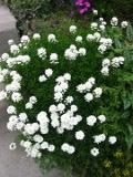byliny, rabaty bylinowe, kwiaty wieloletnie, zakładanie rabaty bylinowej
