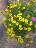 Ogrody, rośliny  , uczep