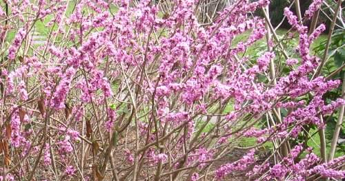 wiosna w ogrodzie, przebiśniegi, śnieżniki, ogród , rośliny do ogrodu, marzec w ogrodzie kalendarz ogrodnika, ogrodnik-amator.pl