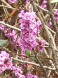 krzewy Liściaste ,wawrzynek wilczełyko