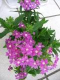 Ogrody, zdjęcia werbeny ogrodowej, werbena ogrodowa w ogrodzie