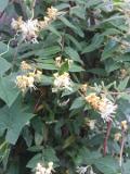 wiciokrzew zaostrzony, galeria roślin