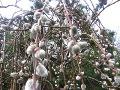 Ogrody, rośliny wieloletnie, drzewa, krzewy, wierzba iwa