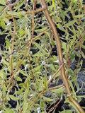 Ogrodnik-amator, opis rośliny, Wierzba mandżurska, Salix matsudana, uprawa wierzby mandżurskiej , drzewo